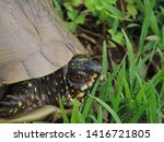 Box Turtle Peeking Out Of It\'s...
