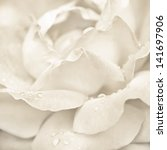 Stock photo abstract macro shot of beautiful cream rose flower with water drops floral background with soft 141697906