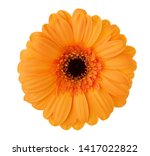Gerbera Flower Of Orange Color...