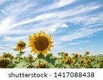 sunflower crop field with big...   Shutterstock . vector #1417088438