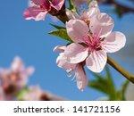 Peach Blossom In The Sunny Day.