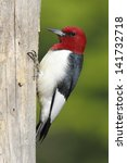 Red Headed Woodpecker ...