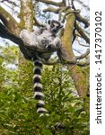 A Ring Tailed Lemur  Lemur...