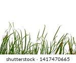 Long Green Grass And Reeds...