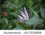White Striped Butterfly Sittin...