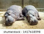 Two Hippos Sleeping On The...