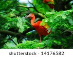 red scarlet ibis  picking some...   Shutterstock . vector #14176582