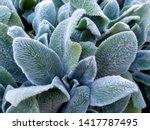 Lamb\'s Ear  An Ornamental Plant