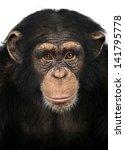 Close Up Of A Chimpanzee...