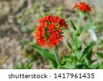 Small photo of Lychnis chalcedonica syn Silene chalcedonica - Maltese cross or Jerusalem cross flower growing in the field