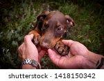 Stock photo doberman puppy put his face in men s hands 1418150342