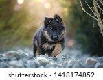 Stock photo black puppy in backlight puppies bohemian shepherd cute dogs 1418174852