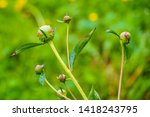 peony buds are preparing to... | Shutterstock . vector #1418243795