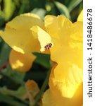 Beautiful Irises In The Summer...