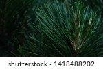pine needles macro closeup in... | Shutterstock . vector #1418488202