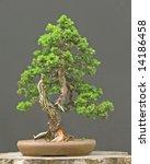 spruce bonsai | Shutterstock . vector #14186458