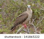 Red Footed Booby  Galapagos...