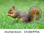 Young Eastern Fox Squirrel ...