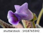 blue bell flowering close up....   Shutterstock . vector #1418765342