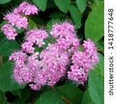 Small photo of Macro photo of nature flowering bush Spiraea. Background texture of a bush with blooming pink flowers of Spirea