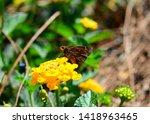 A Clouded Skipper Butterfly...