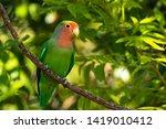 Rosy Faced Lovebird  Agapornis...