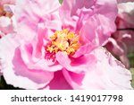 pink peony flower. close up... | Shutterstock . vector #1419017798