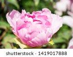 pink peony flower. close up... | Shutterstock . vector #1419017888