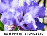 colorful violet iris flower... | Shutterstock . vector #1419025658