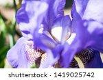 colorful violet iris flower... | Shutterstock . vector #1419025742