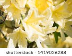 close up photo of yellow... | Shutterstock . vector #1419026288