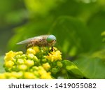 Horsefly  Lat. Tabanidae  Eats...