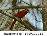 Male Northern Cardinal Close U...