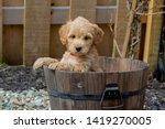 Mini Goldendoodle Puppy Showin...
