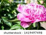pink peony flower. close up... | Shutterstock . vector #1419497498