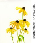 Yellow Black Eyed Susans. ...