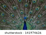 A Peacock With Its Feathers Open