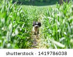 Stock photo dog walker in green summer field with cockapoo 1419786038