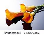 Orange Calla On Black Background