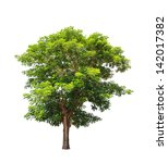 rain tree  albizia saman  ... | Shutterstock . vector #142017382