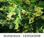 Photo Of Yellow Linden Flowers...