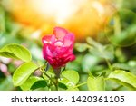 beautiful rose in a park on the ... | Shutterstock . vector #1420361105