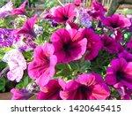 Flowers Of Petunias Growing In...