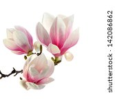 Stock photo bouquet of magnolia 142086862