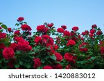 Red Roses On A Bush In A Summe...