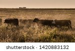 argentine meat production cows... | Shutterstock . vector #1420883132