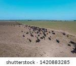 herd of cows in the pampas... | Shutterstock . vector #1420883285