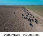 herd of cows in the pampas... | Shutterstock . vector #1420883288