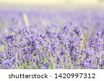 lavender field in provence.... | Shutterstock . vector #1420997312