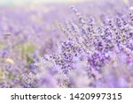 lavender field in provence.... | Shutterstock . vector #1420997315
